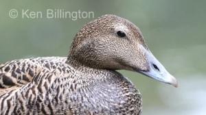 Eider Duck (Somateria mollissima) (1).jpg