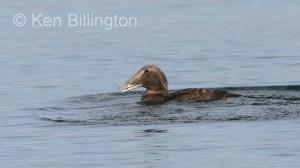 Eider Duck (Somateria mollissima) (3).jpg