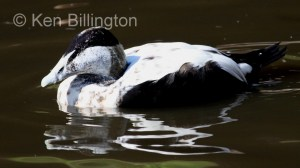 Eider Duck (Somateria mollissima) (5).JPG