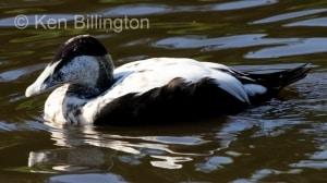 Eider Duck (Somateria mollissima) (7).JPG