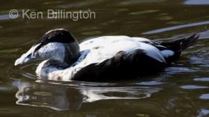 Eider Duck (Somateria mollissima) (8).JPG