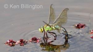 Emperor-Dragonfly-(10).jpg