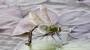 Emperor-Dragonfly-(2).JPG