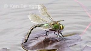 Emperor-Dragonfly-(3).JPG