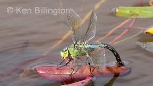 Emperor-Dragonfly-(4).JPG