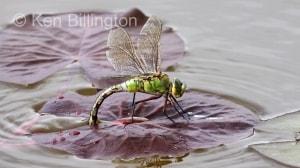 Emperor-Dragonfly-(5).JPG