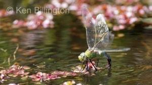 Emperor-Dragonfly-(9).jpg