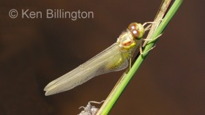 Emperor Dragonfly (Anax imperator) (12).jpg