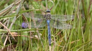 Emperor Dragonfly (Anax imperator) (16).jpg