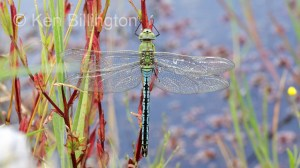 Emperor Dragonfly (Anax imperator) (18).jpg