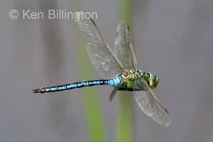 Emperor Dragonfly in Flight