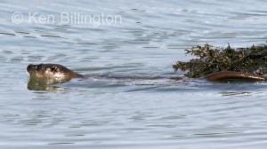 Eurasian Otter (Lutra lutra) (2)