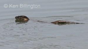 Eurasian Otter (Lutra lutra) (3)