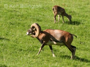 European mouflon (Ovis orientalis musimon) (1)