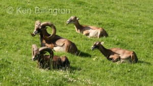 European mouflon (Ovis orientalis musimon) (2)