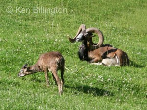 European mouflon (Ovis orientalis musimon) (3)