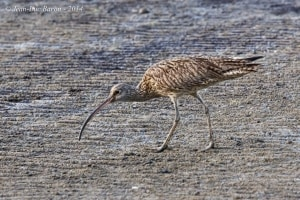 Far Eastern Curlew Numenius madagascariensis