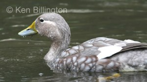 Flying Steamer Duck (Tachyeres patachonicus)