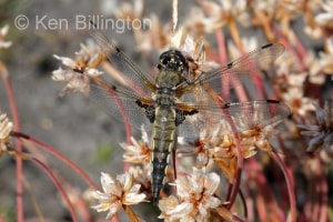 Four-spotted Chaser (Libellula quadrimaculata) (11).jpg