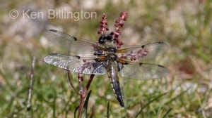 Four-spotted Chaser (Libellula quadrimaculata) (2).jpg