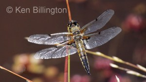 Four-spotted Chaser (Libellula quadrimaculata) (4).jpg