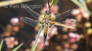 Four-spotted Chaser (Libellula quadrimaculata) (5).jpg