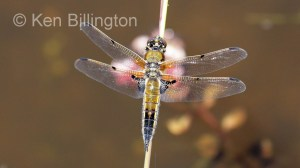 Four-spotted Chaser (Libellula quadrimaculata) (6).jpg