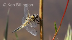 Four-spotted Chaser (Libellula quadrimaculata) (8).jpg