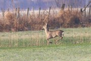 Roe Deer on the Rhine Delta (01)