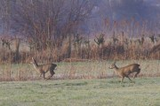Roe Deer on the Rhine Delta (05)