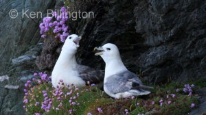 Northern Fulmar (Fulmarus glacialis) (14)