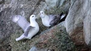 Northern Fulmar Fulmarus glacialis