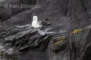 Northern Fulmar (Fulmarus glacialis) (17)