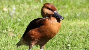 Fulvous Whistling-duck Dendrocygna bicolor