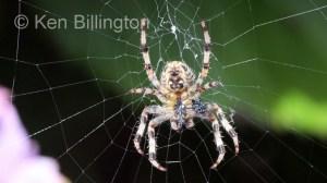 Garden-Spider-(1).JPG