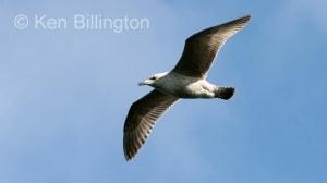 Glaucous Gull (Larus hyperboreus) (1)