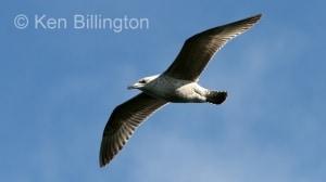 Glaucous Gull (Larus hyperboreus) (2)