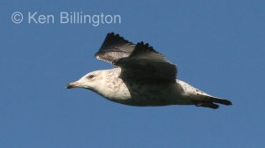Glaucous Gull (Larus hyperboreus) (3)