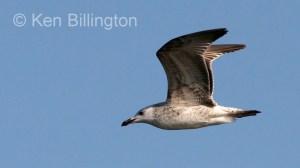 Glaucous Gull (Larus hyperboreus) (5)