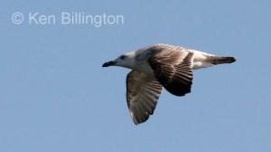 Glaucous Gull (Larus hyperboreus) (7)