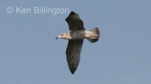Glaucous Gull (Larus hyperboreus) (8)