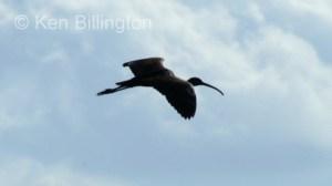 Glossy Ibis (Plegadis falcinellus) (1)