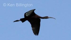 Glossy Ibis (Plegadis falcinellus) (5)