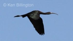 Glossy Ibis (Plegadis falcinellus) (6)