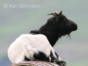 Goat (Capra aegagrus hircus) (1)