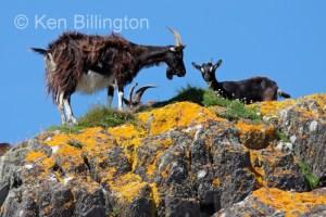 Goat (Capra aegagrus hircus) (10)
