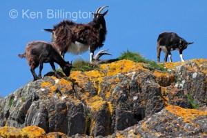 Goat (Capra aegagrus hircus) (11)