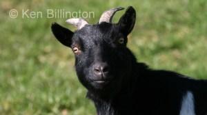 Goat (Capra aegagrus hircus) (3)