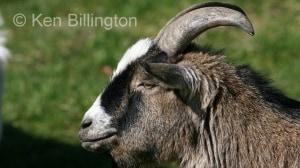 Goat (Capra aegagrus hircus) (4)