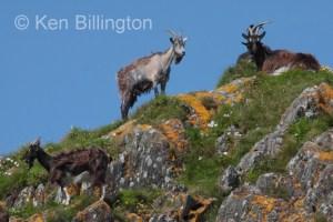 Goat (Capra aegagrus hircus) (5)